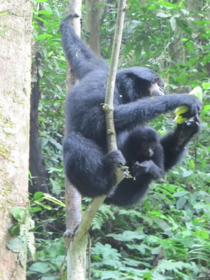 A mama Siamang, with her youngin.  Siamang is the largest of the Gibbons.