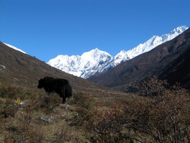 Yak, Himalayas of Nepal